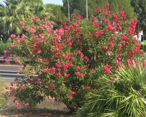 Sizilien2011_Oleander.jpg