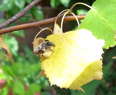 Blattschneiderbiene2012_1.jpg