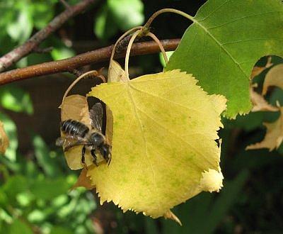 Blattschneiderbiene2012_3.jpg