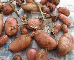 KartoffelKingEdward.jpg