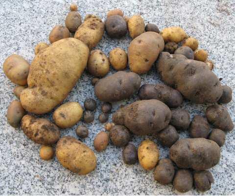 Kartoffelernte2007.jpg