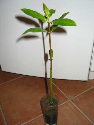 Mangrove.jpg