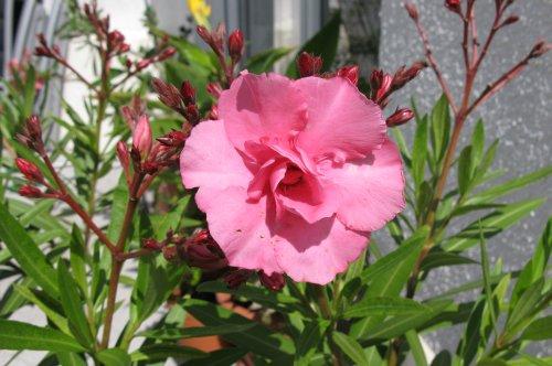 Oleander2009.jpg