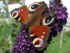 SchmetterlingTagpfauenauge.jpg