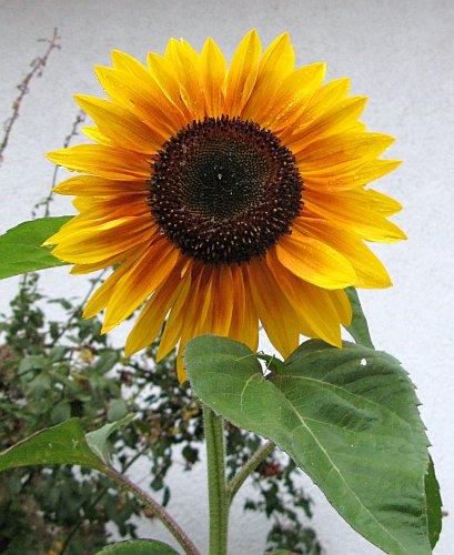 Sonnenblume2010.jpg