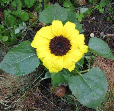 SonnenblumeMitSchnecken.jpg