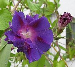 Trichterwinde2008_2.jpg
