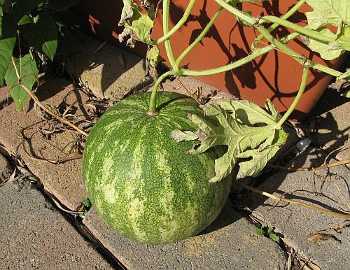 Wassermelone2008.jpg