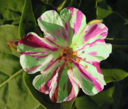 WunderblumeGruenGestreift2.jpg